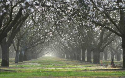 The Water Footprint of the California Almond