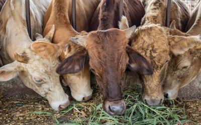 Feedlot Wastewater Could Threaten Minnesota Drinking Water