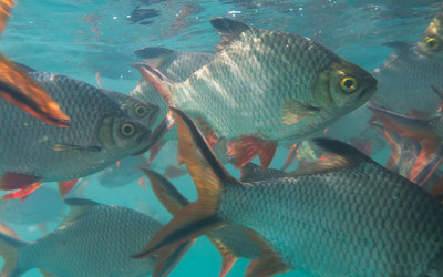 Tilapia's Role in Wastewater Treatment